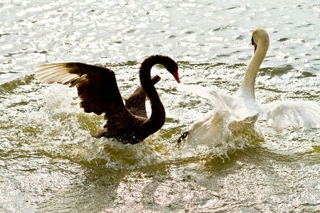 Black and white swan fighting in the water