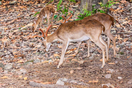 Brown male deer standing in forest Stock Photo - 16326444