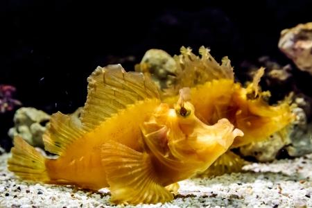scorpionfish: Couple of yellow leaf scorpionfish under deep water
