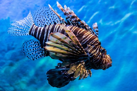 Lion fish in the deep blue sea water Stock Photo