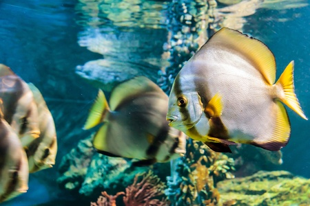 White angelfish black striped yellow tail in water with coral and reef Stock Photo - 17980103