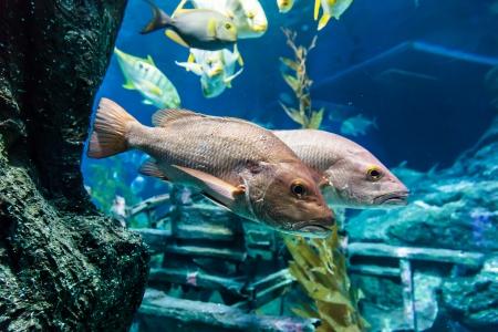 bass fish: Bass fish under the blue water