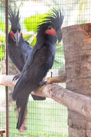 cockatoos: Due cacatua palma neri in piedi sulla pertica