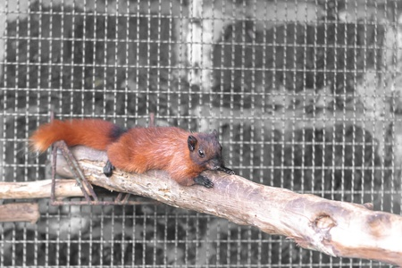 perching: Brown squirrel perching on tree branch