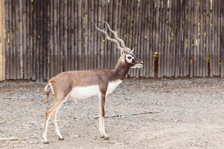 black buck: Twisted spiral horn black buck walking in the park Stock Photo