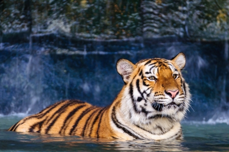 Orange and black striped tiger in the water
