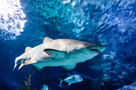 White and gray ragged tooth shark under the water photo