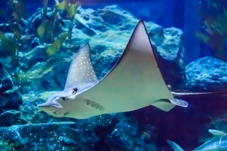Eagle stingray under deep blue sea Stock Photo