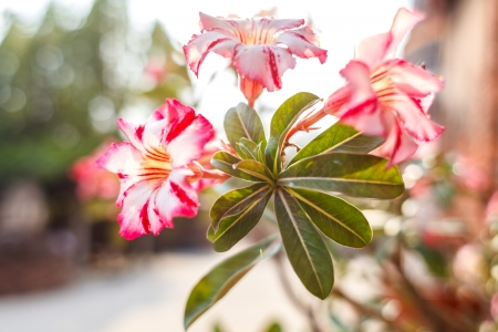 impala lily: colorful impala lily or desert rose or mock azalea