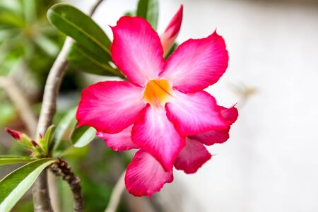 red impala lily or desert rose or mock azalea photo