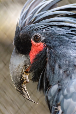 eye socket: Black palm cockatoo red eye socket close up Stock Photo