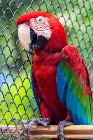 green winged macaw: Colorful green winged macaw on perch