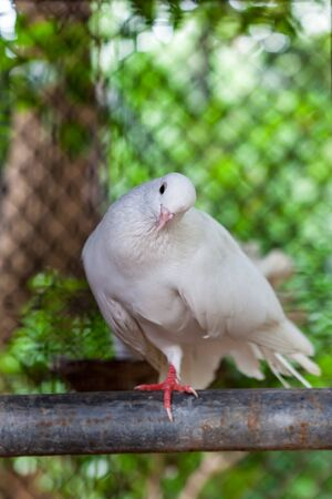 dove of peace: Pure white pigeon perching on metal pipe