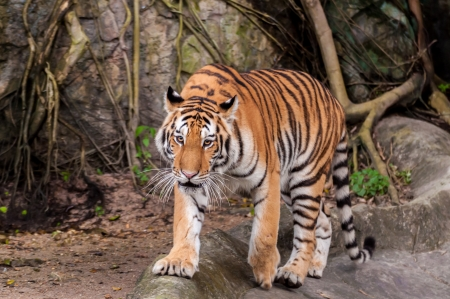 Orange and black striped bengal tiger walking on the rock