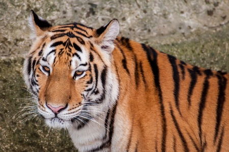 head close up: Orange and black striped bengal tiger head close up