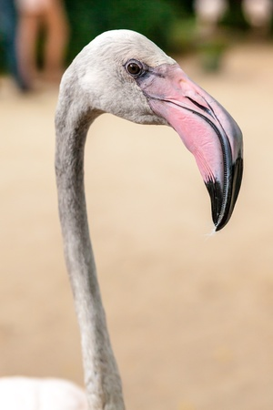 White flamingo pink beak close up photo