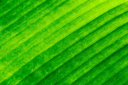 Dirty green banana leaf texture surface background photo