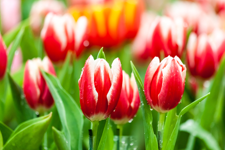 Group of red and white tulips in garden