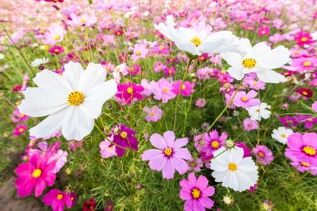 White cosmos flowers among pink on field Foto de archivo