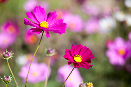 Pink cosmos flower on field close up
