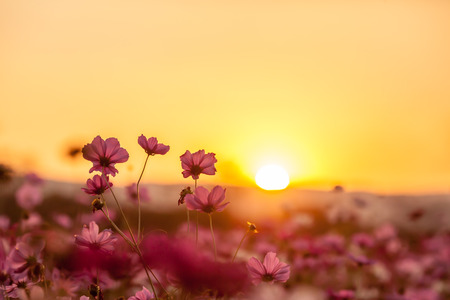 sunset sky: Pink cosmos on field in sunset time