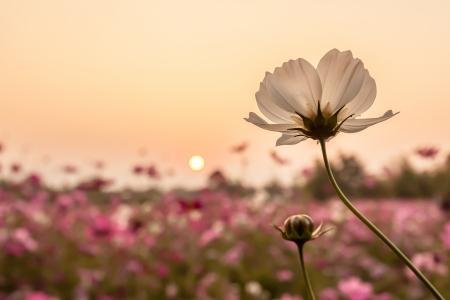 jardines flores: cosmos blancas en campo en tiempo de la puesta del sol