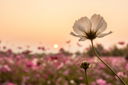 rural landscapes: white cosmos on field in sunset time