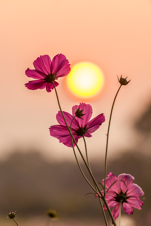 Pink cosmos on field in sunset time