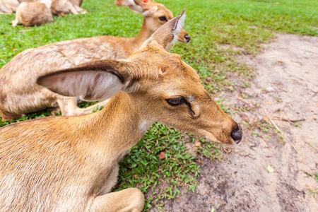 herbivore: Brown antelope head in park close up