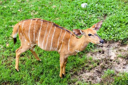 Brown antelope standing in green grass field