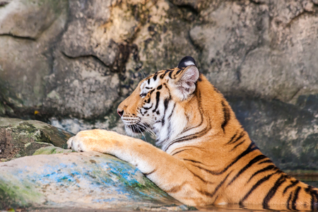 bengal tiger: Orange and black striped bengal tiger in the water