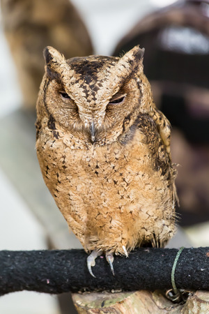 perching: Brown owl perching on wood close up Stock Photo