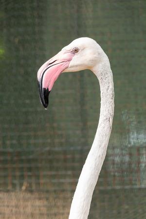 beak: White flamingo pink beak close up head Stock Photo