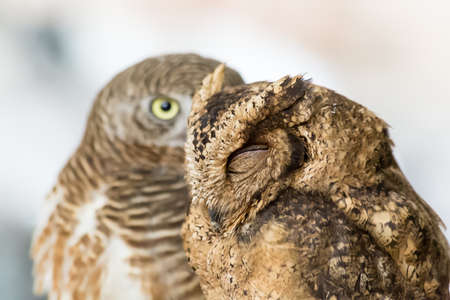 eyes close up: Brown owl closed eyes close up Stock Photo