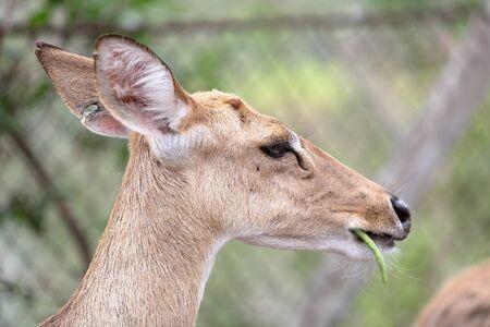 herbivore: Brown female antelope head close up Stock Photo