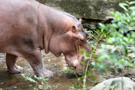 amphibius: Hippo walking in the zoo close up