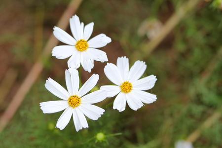 White cosmos flowers in garden close up stock photo picture and stock photo white cosmos flowers in garden close up mightylinksfo