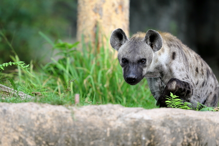 hyena: Spotted hyena standing in the  park Stock Photo