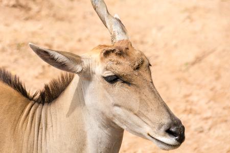head close up: One horn impala head close up