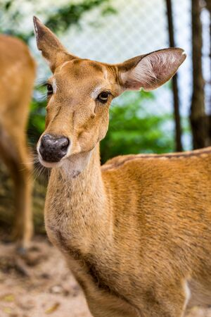 head close up: Brown female impala head close up