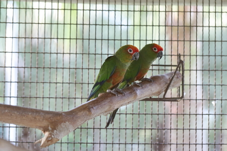 perching: Golden capped conure perching on branch