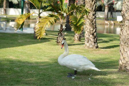 feild: White swan standing in grass feild in park