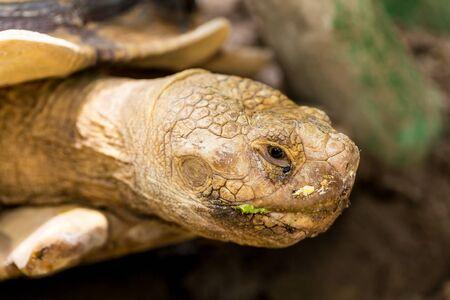 large turtle: Large turtle eating vegetable close up