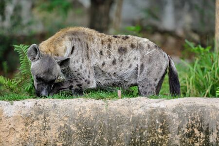 licking: Spotted hyena licking its leg in park Stock Photo