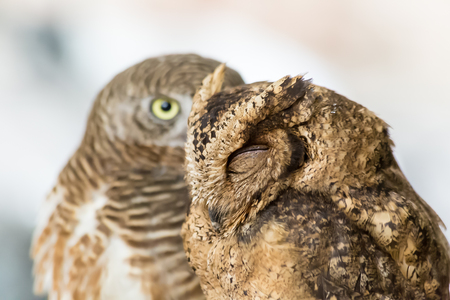 close up eyes: Brown owl closed eyes close up Stock Photo