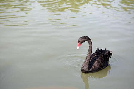 red beak: Black swan red beak floating in the water Stock Photo