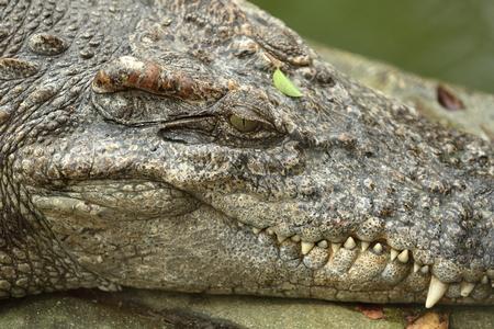 piheno: Krokodil nyugszik földön közelről