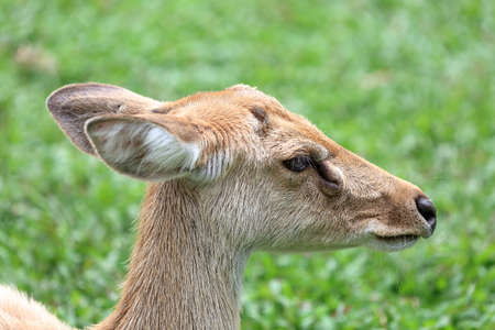 herbivores: Brown female antelope head close up Stock Photo
