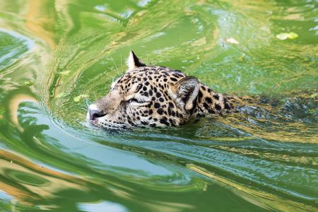Orange jaguar swimming in the water