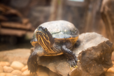 slider: Yellow bellied slider on the rock